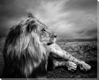 Majestic Lion Wrapped Canvas Giclee Art Print Wall Art