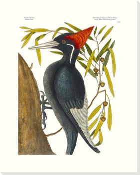 White Billed Woodpecker Bird Wrapped Canvas Giclee Art Print Wall Art