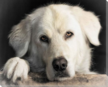 Great Pyr Dog Behind Gate Wrapped Canvas Giclee Art Print Wall Art