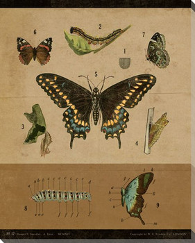 Vintage Educational Chart Butterfly Wrapped Canvas Giclee Print