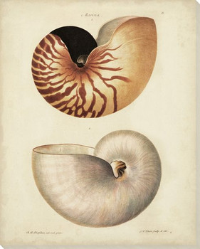 Antique Nautilus I Wrapped Canvas Giclee Print Wall Art