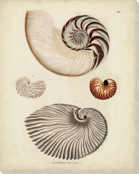 Antique Nautilus II Wrapped Canvas Giclee Print Wall Art