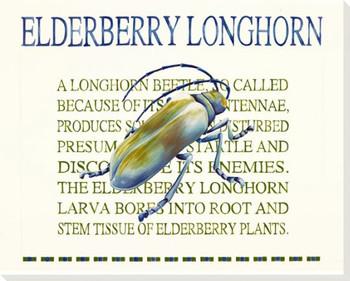 Elderberry Longhorn Wrapped Canvas Giclee Print Wall Art