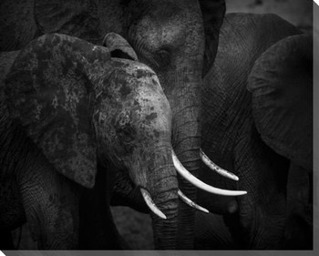 Elephants Wrapped Canvas Giclee Print Wall Art