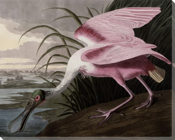 Roseate Spoonbill Bird Wrapped Canvas Giclee Print Wall Art