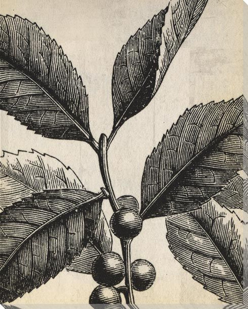 Botanical Etching VII Wrapped Canvas Giclee Art Print Wall Art