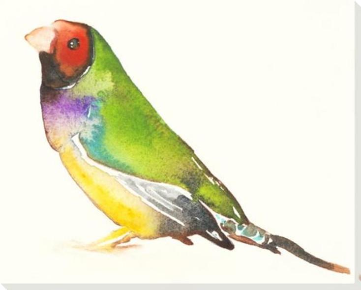 Gouldian Finch Bird Wrapped Canvas Giclee Art Print Wall Art