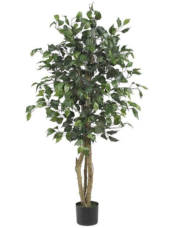 4' Long Trunk Ficus Silk Tree