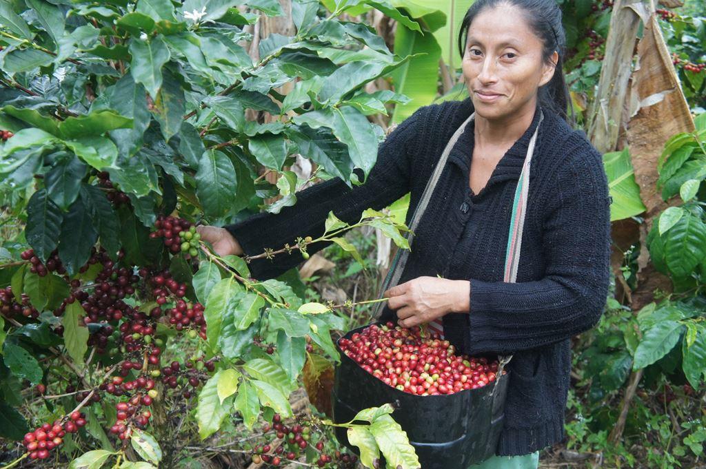 peru coffee harvest