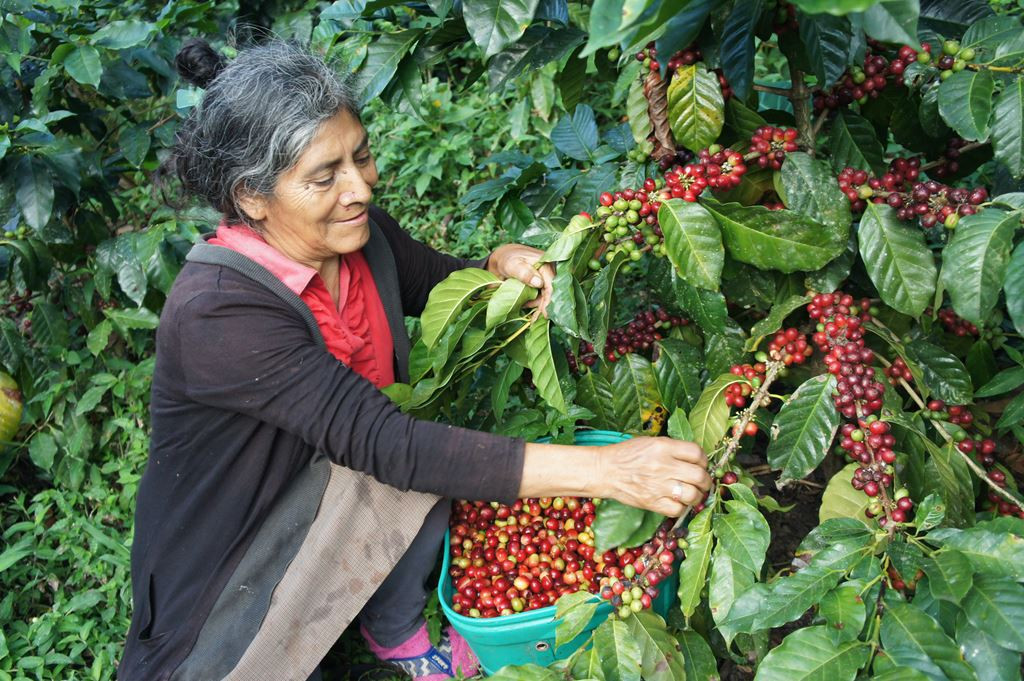 peru coffee harvest woman