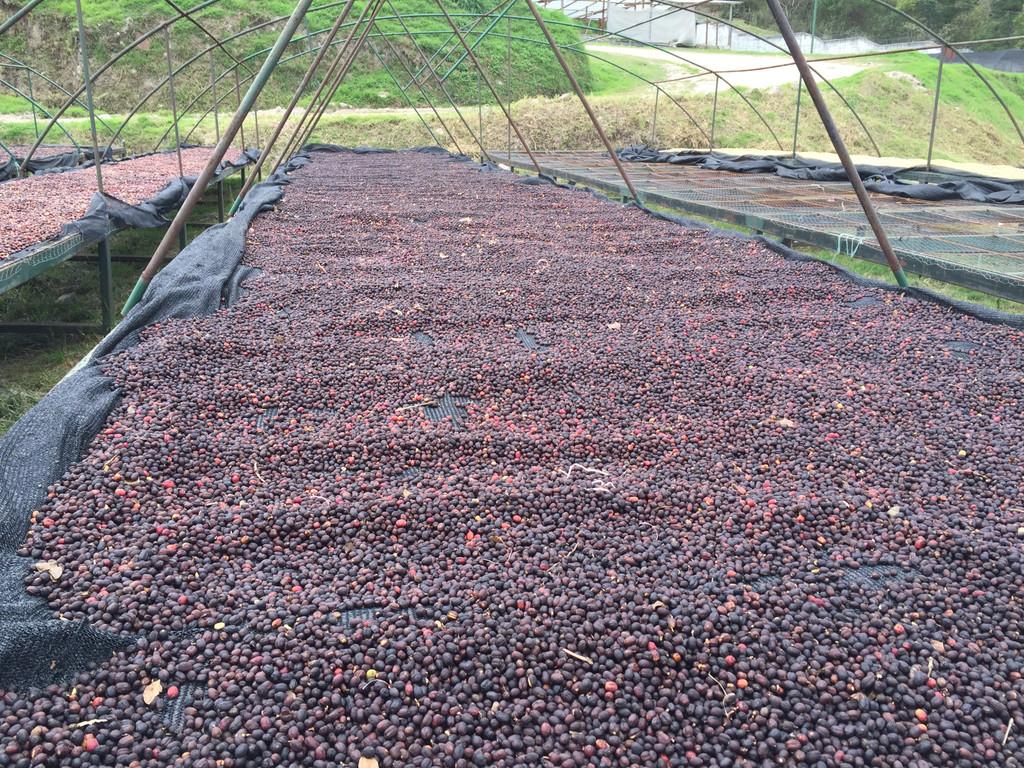 honduras coffee drying patios