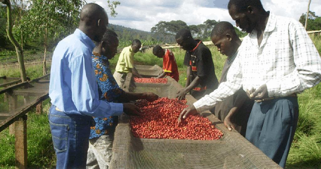 Burundi coffee cherry