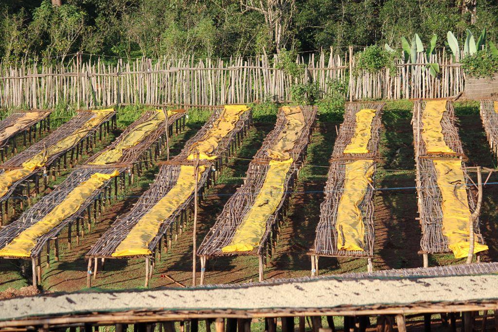 ethiopia coffee drying process
