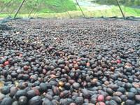 honduras coffee drying