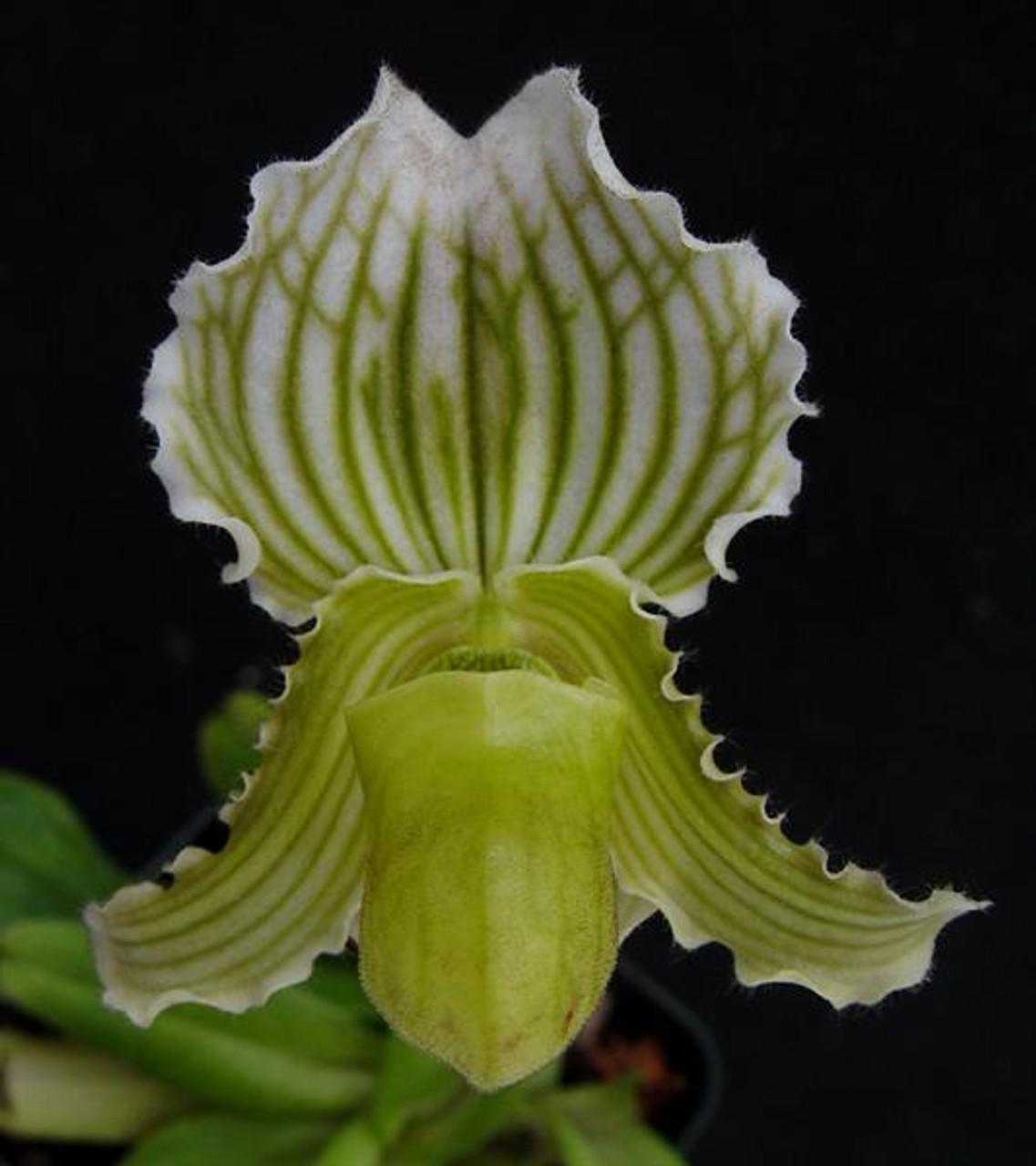 Paph Fairrieanum Album Jf 1 X Wow Orchidweb