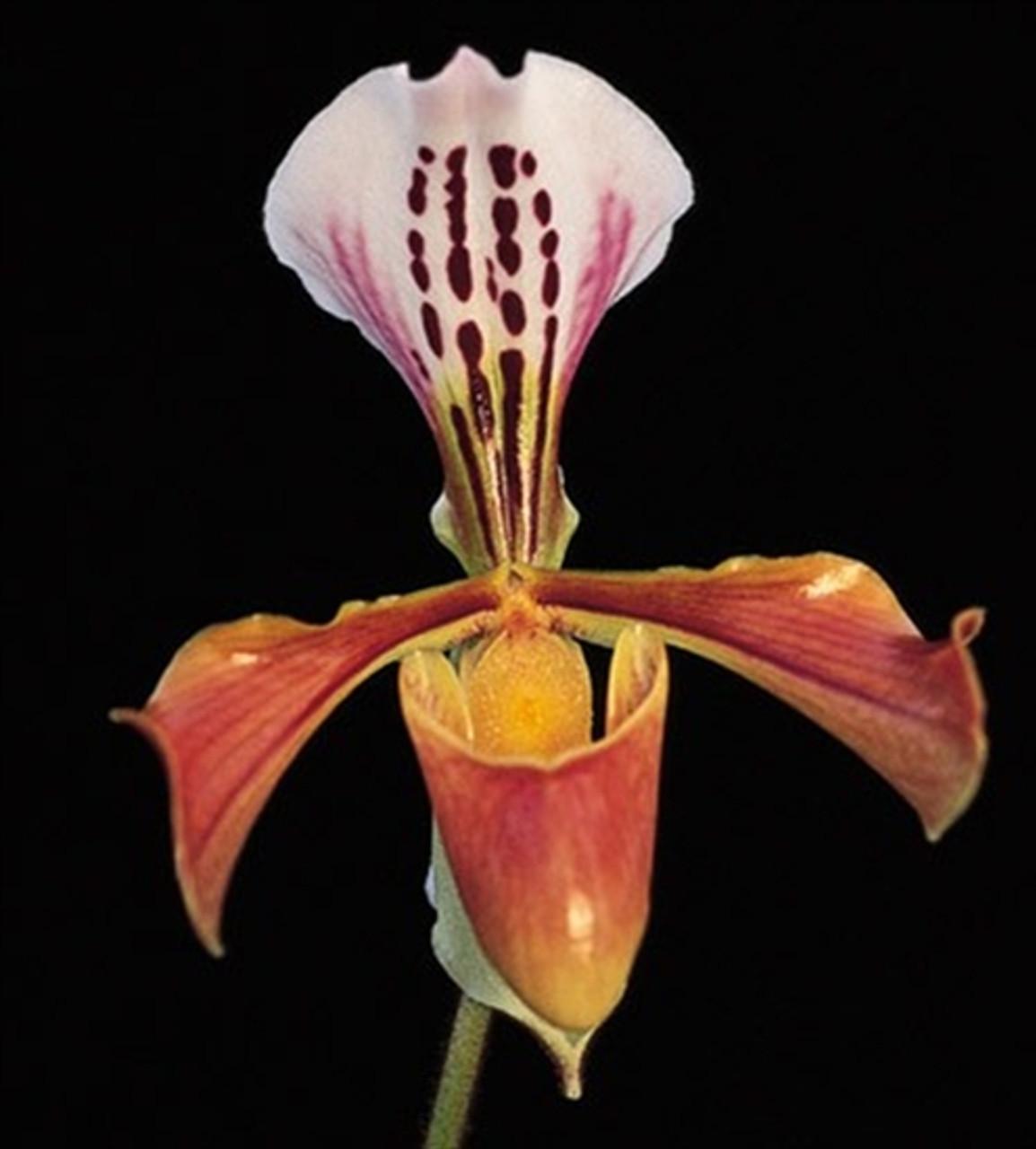 Paph. gratrixianum