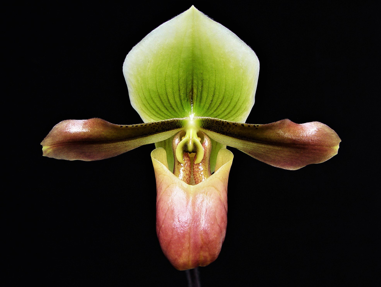 Paph Mastersianum Orchidweb