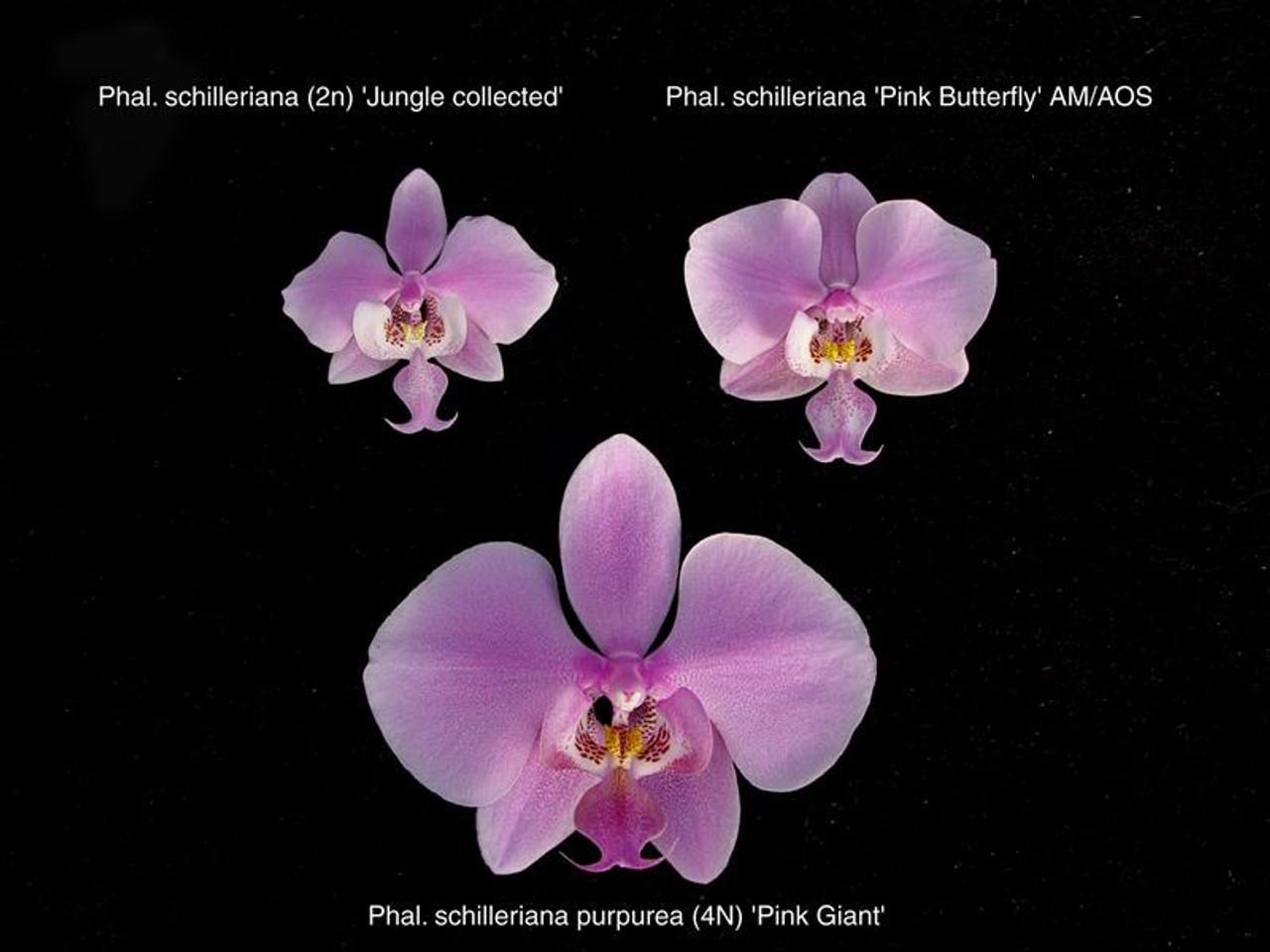 Phal. schilleriana var. purpurea (3N) ('Pink Giant' 4N x 'Pink Butterfly' AM/AOS)