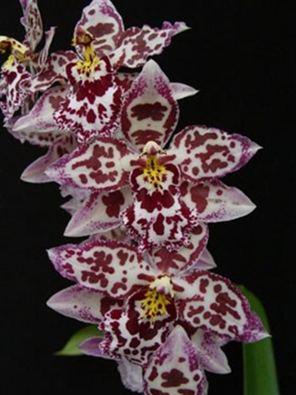 Odontocidium Margaret Holm 'Alpine' (Odm. bictoniense x Odm. Hans Koch)