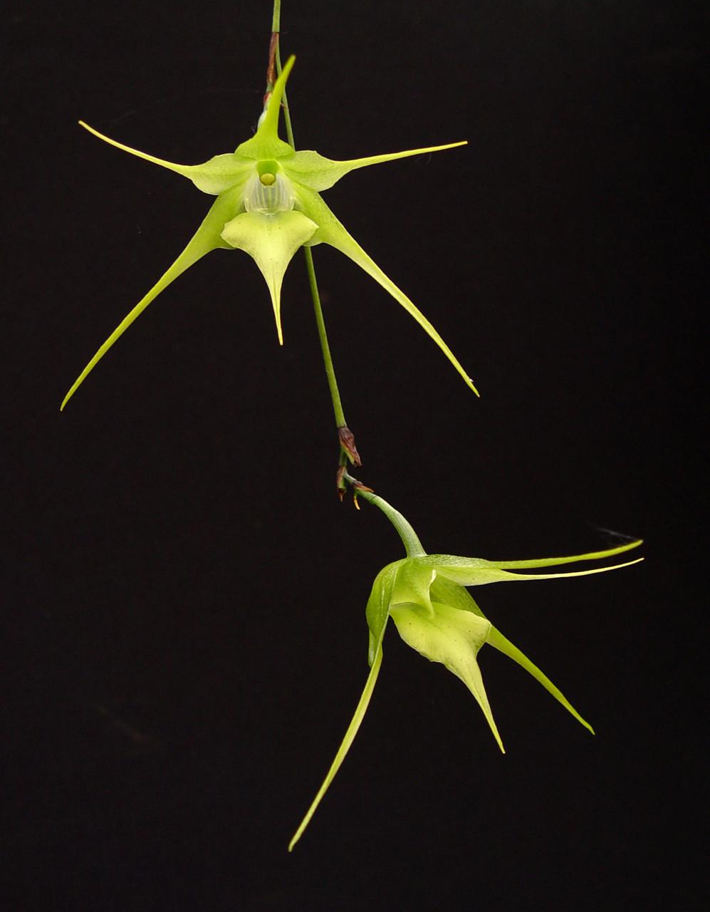 Aeranthes caudata 'Green Dragon' x self