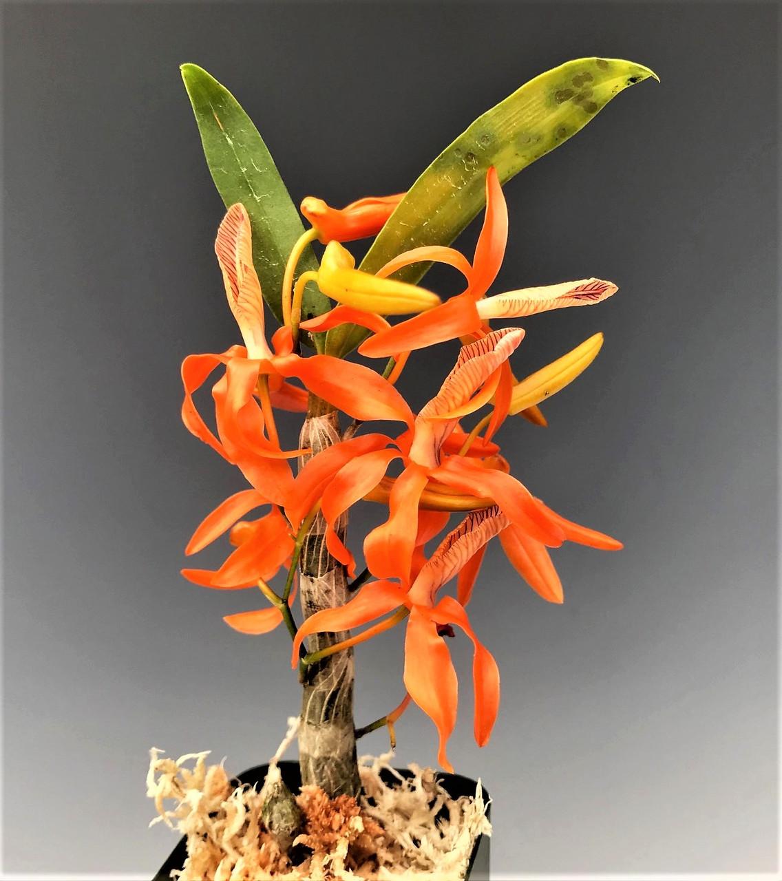 Dendrobium unicum ('Tangerine Tango' x Tangerine Dream' FCC/AOS)