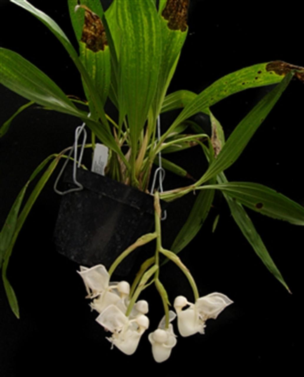Coryanthes vasquezii