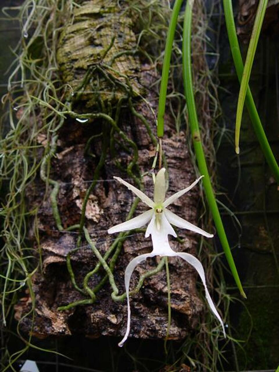Dendrophylax lindenii - 'The Ghost Orchid'