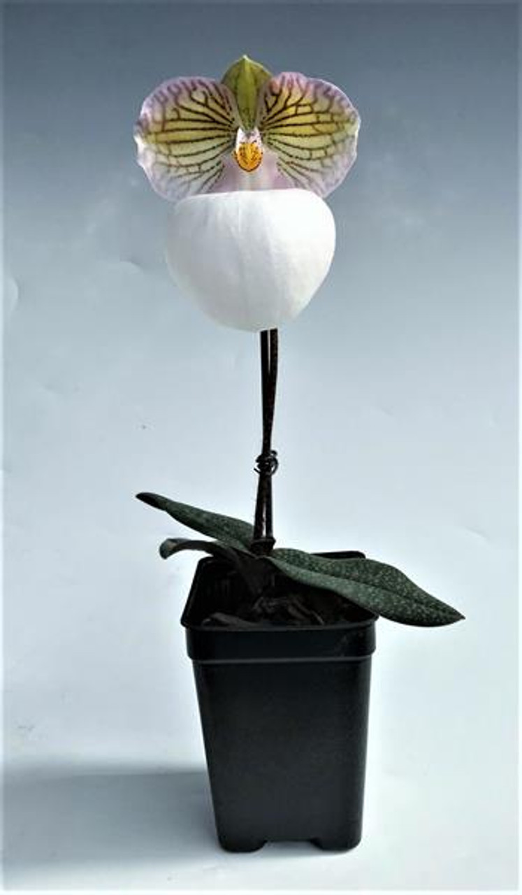 paph  micranthum var  eburneum  kwongsee type