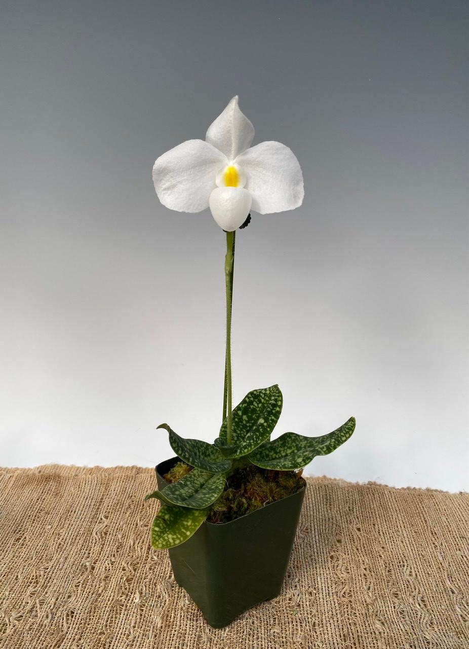 Paph. delenatii forma albinum