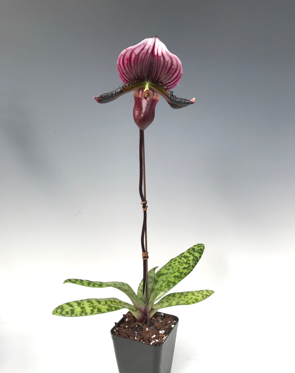 Paph. Maudiae type - vinicolor (Red Lady Slipper)