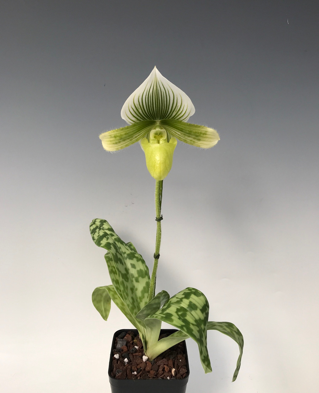 Paph. Maudiae type  (green and white)