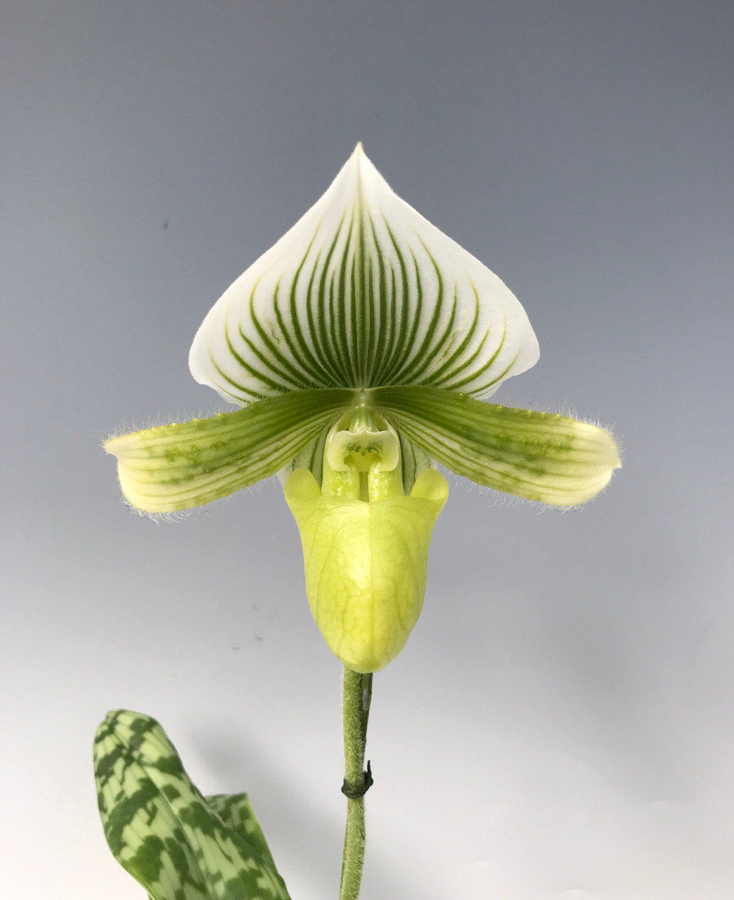 Paph. Maudiae type - green and white