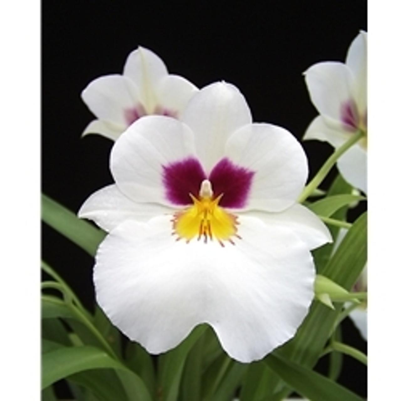 Miltoniopsis Herralexander (Alexander Dumas x Herrenhausen)