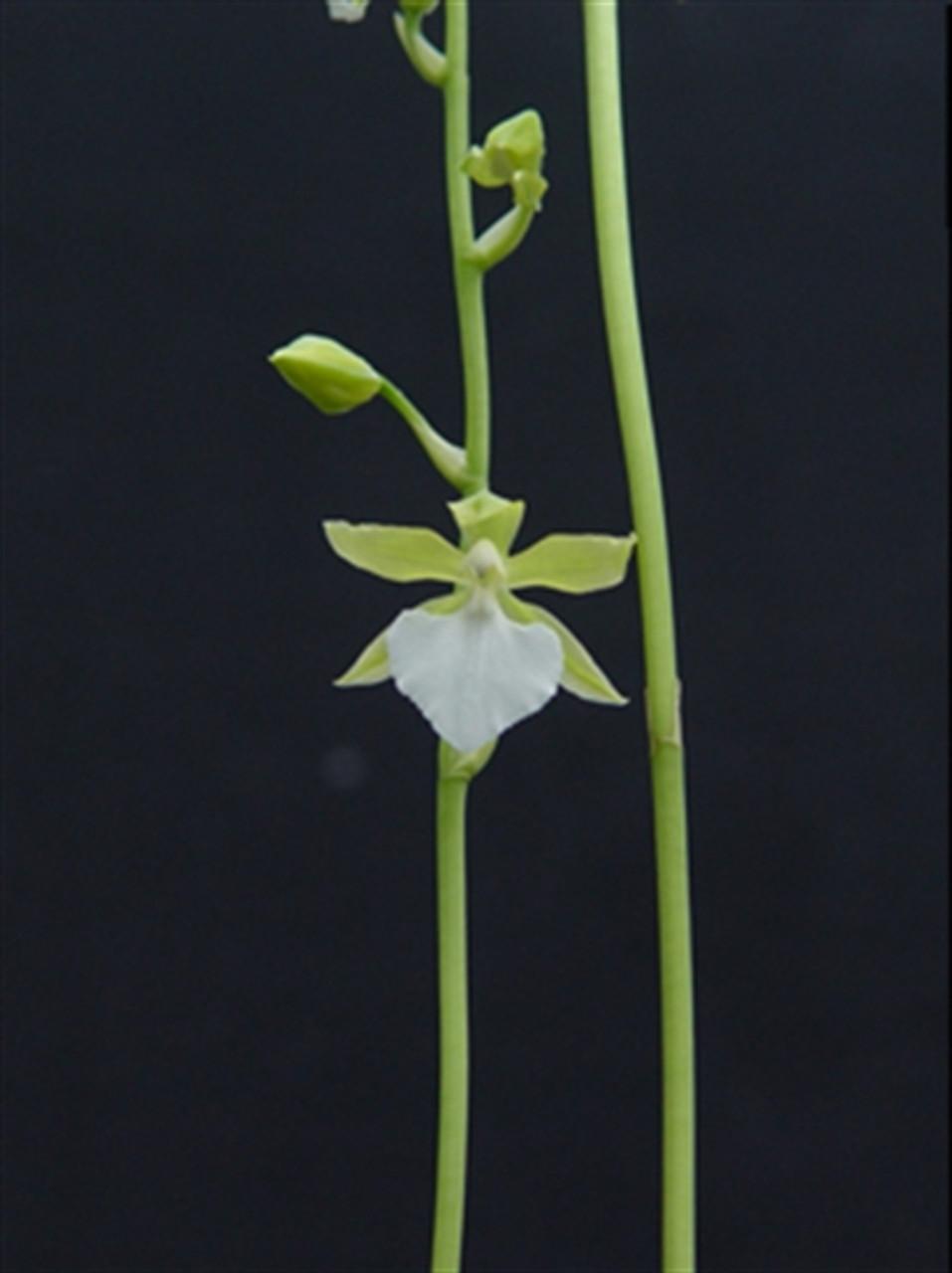 Odontoglossum bictoniense album