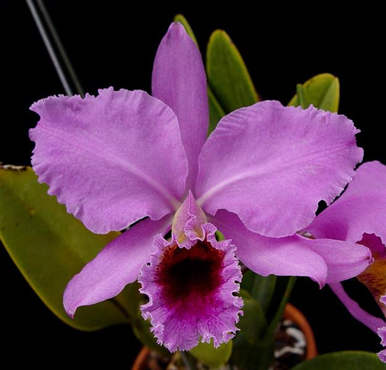 Cattleya percivaliana 'Albert's'
