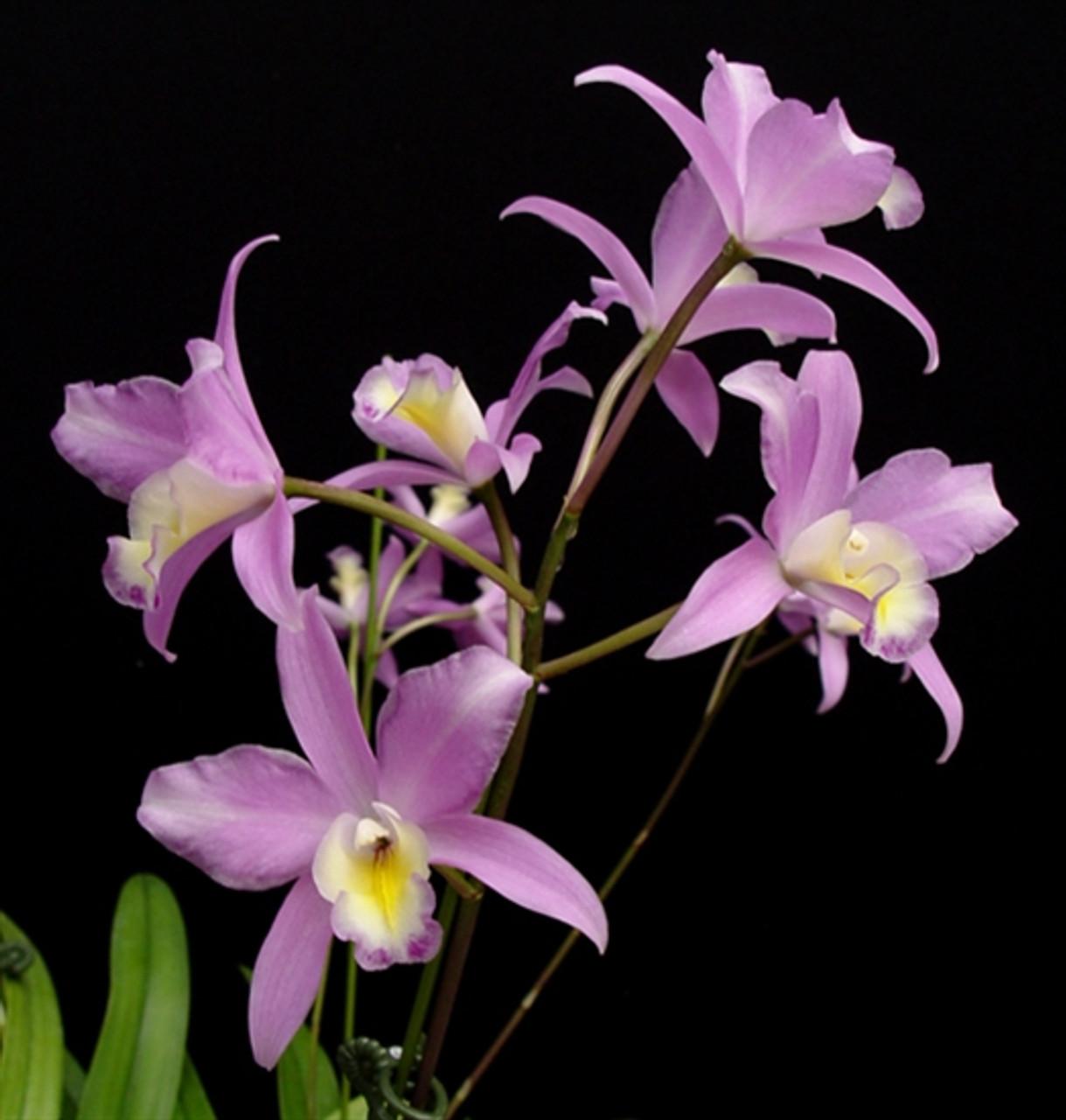 Lc. Bowri-albida 'Pink Lady' (Cattleya bowringiana x Laelia albida)