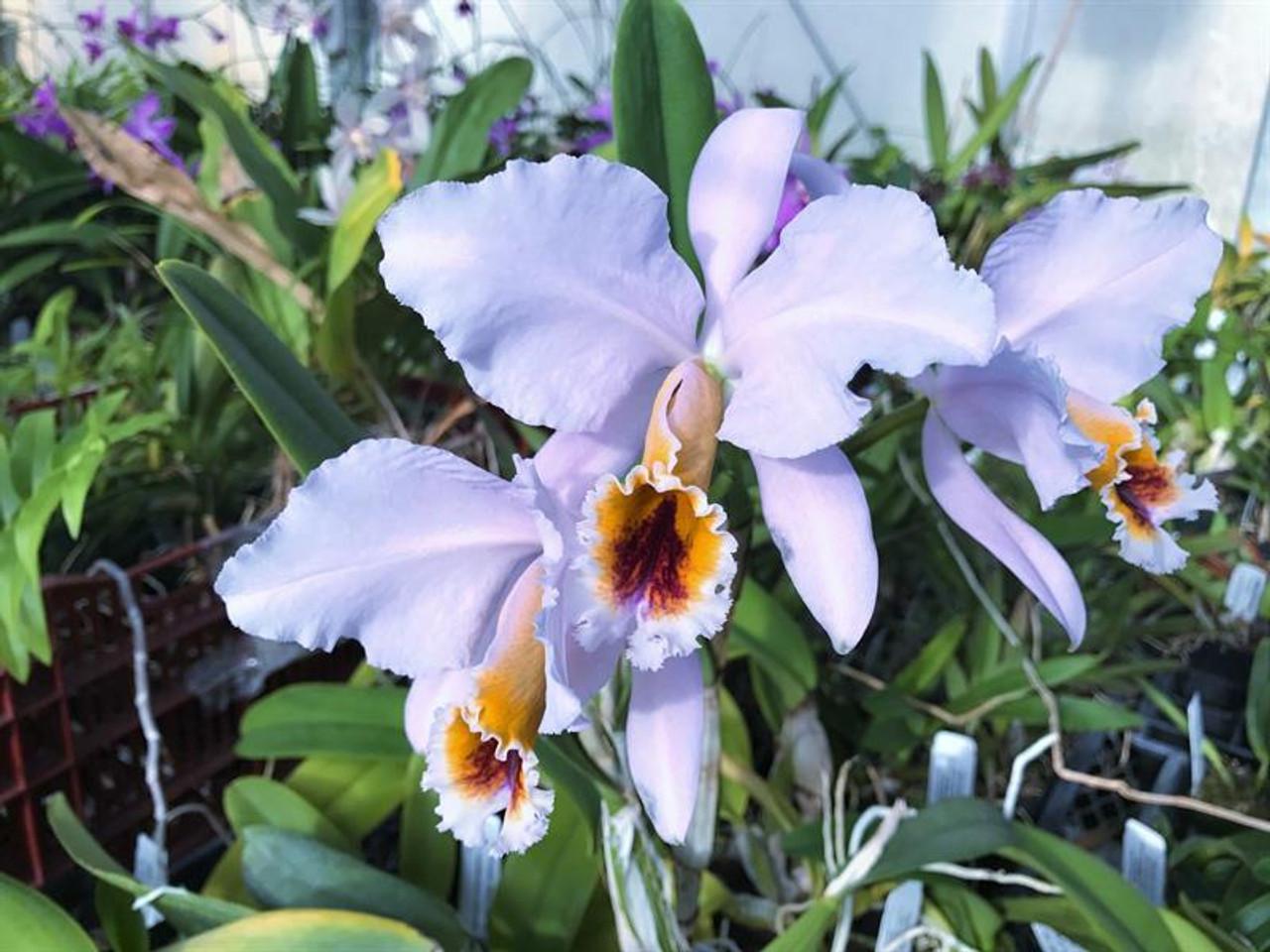 Cattleya percivaliana coerulea 'Ondine' AM/NOSC