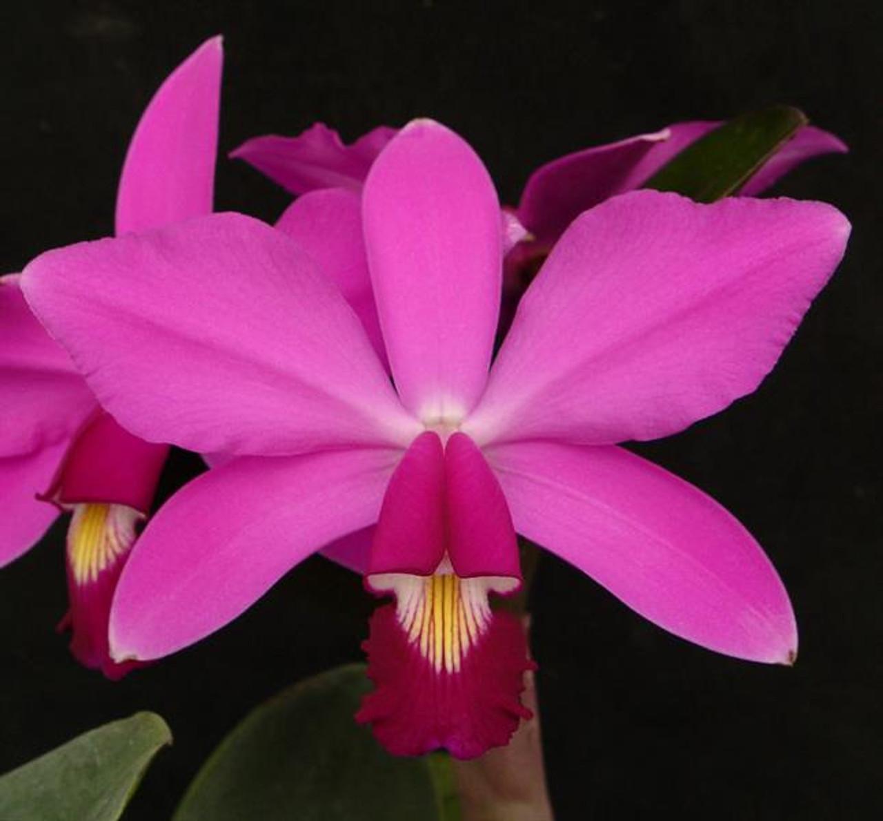 Lc. Celia (L. tenebrosa 'Dark Spell' x violacea 'Muse' FCC/AOS (4N)