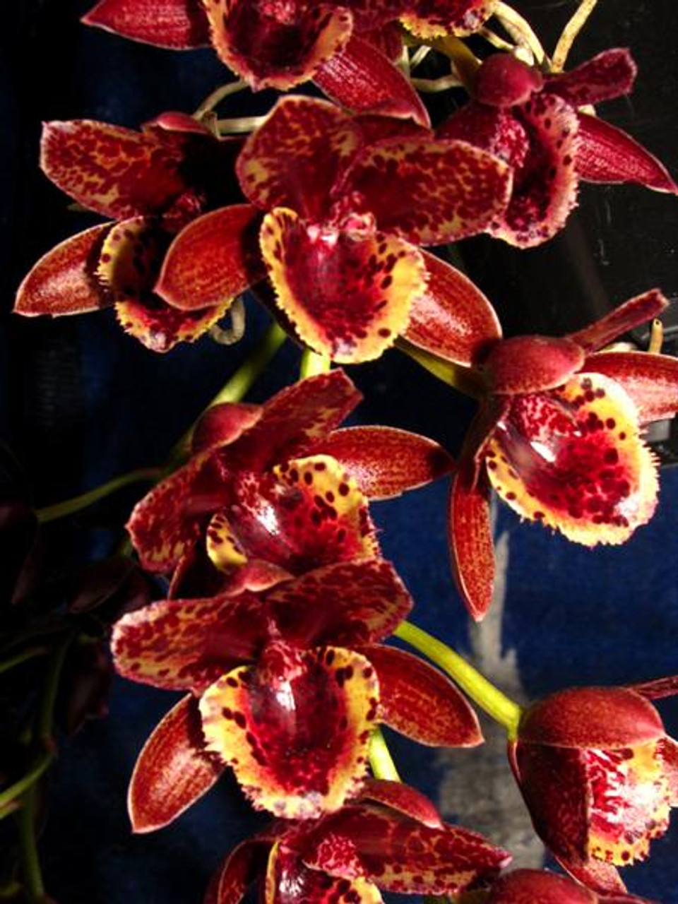 Fredclarkeara After Dark 'Sunset Valley Orchids' FCC/AOS