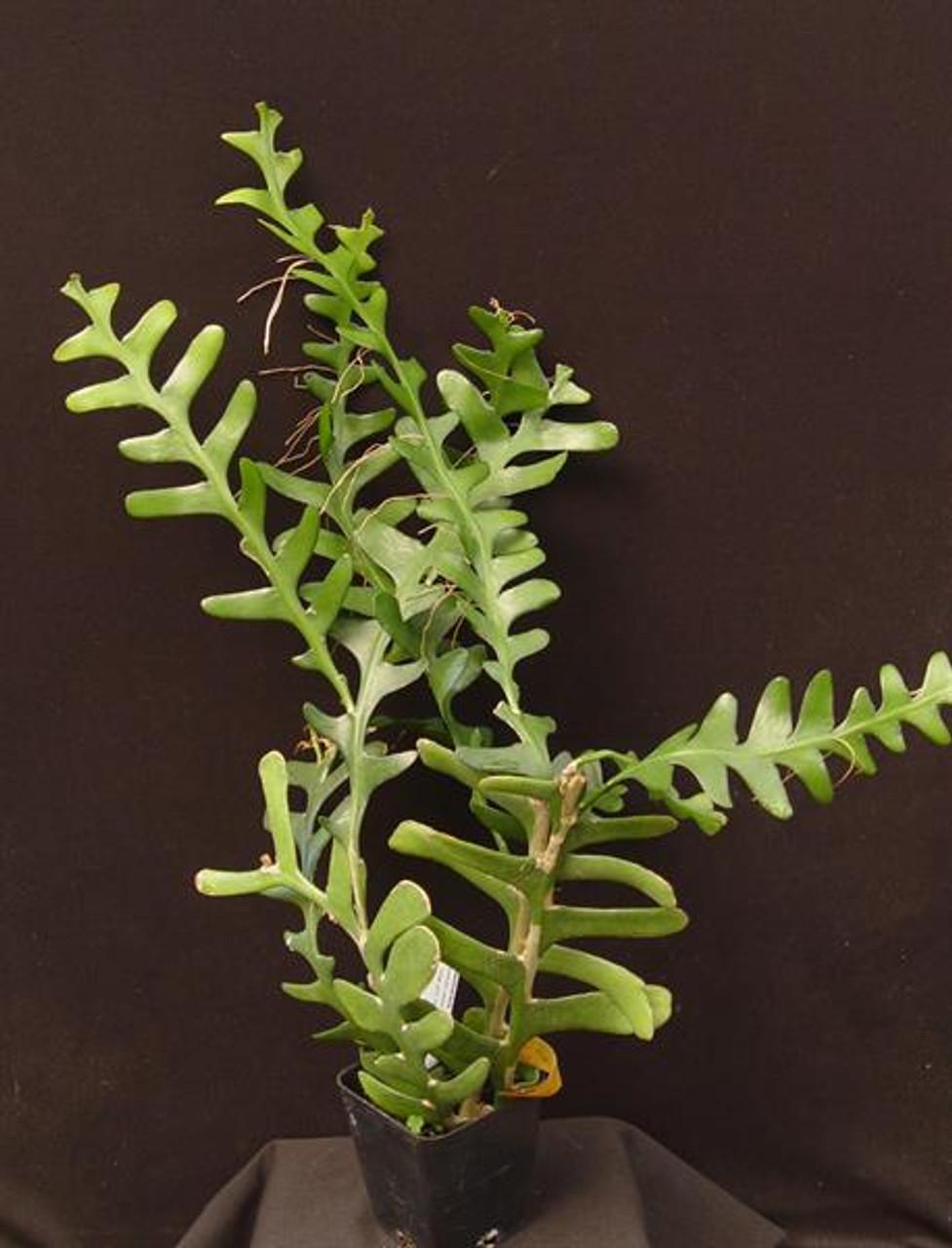 Selenicereus anthonyanus - Fish bone cactus