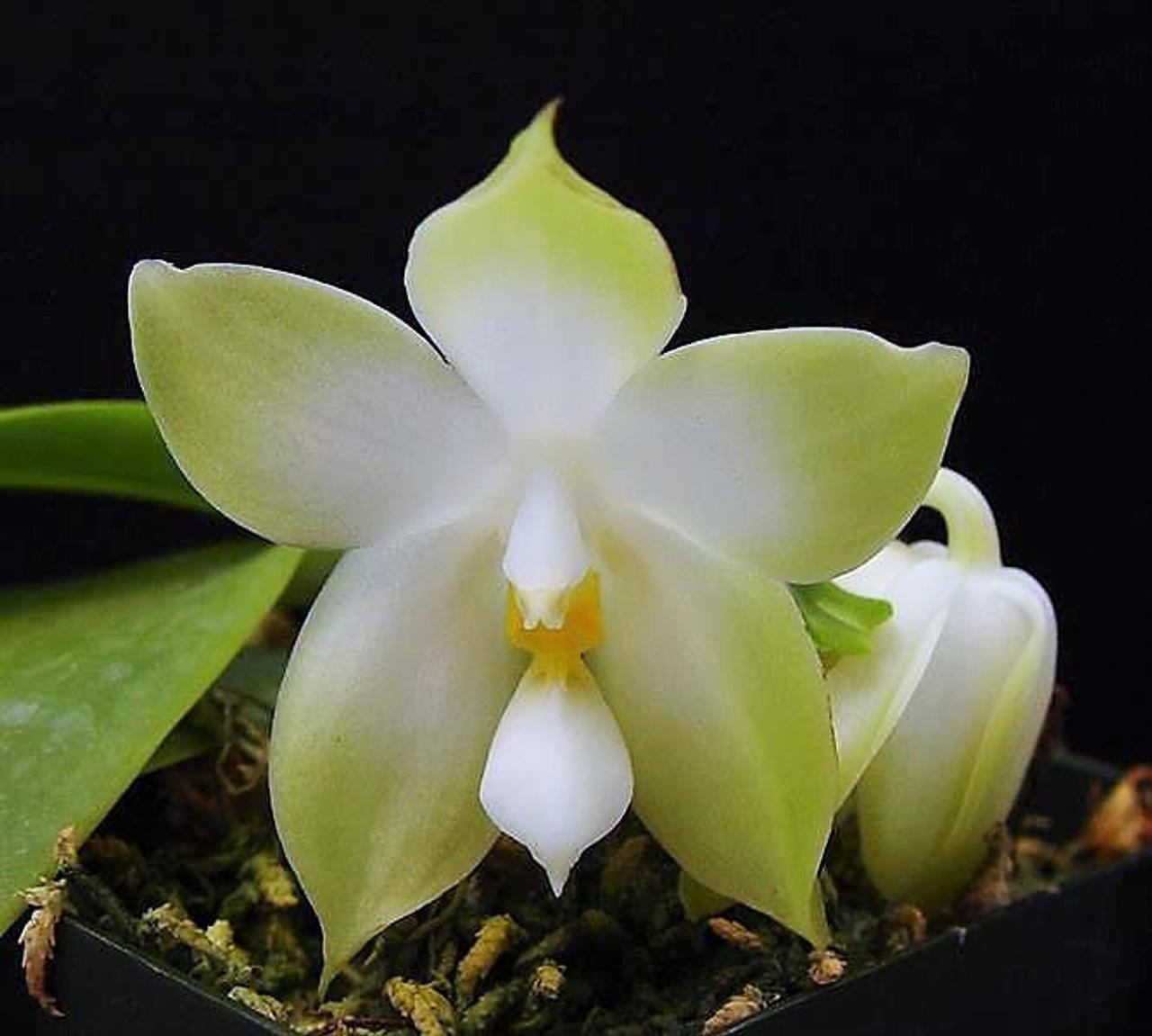Phal. bellina alba