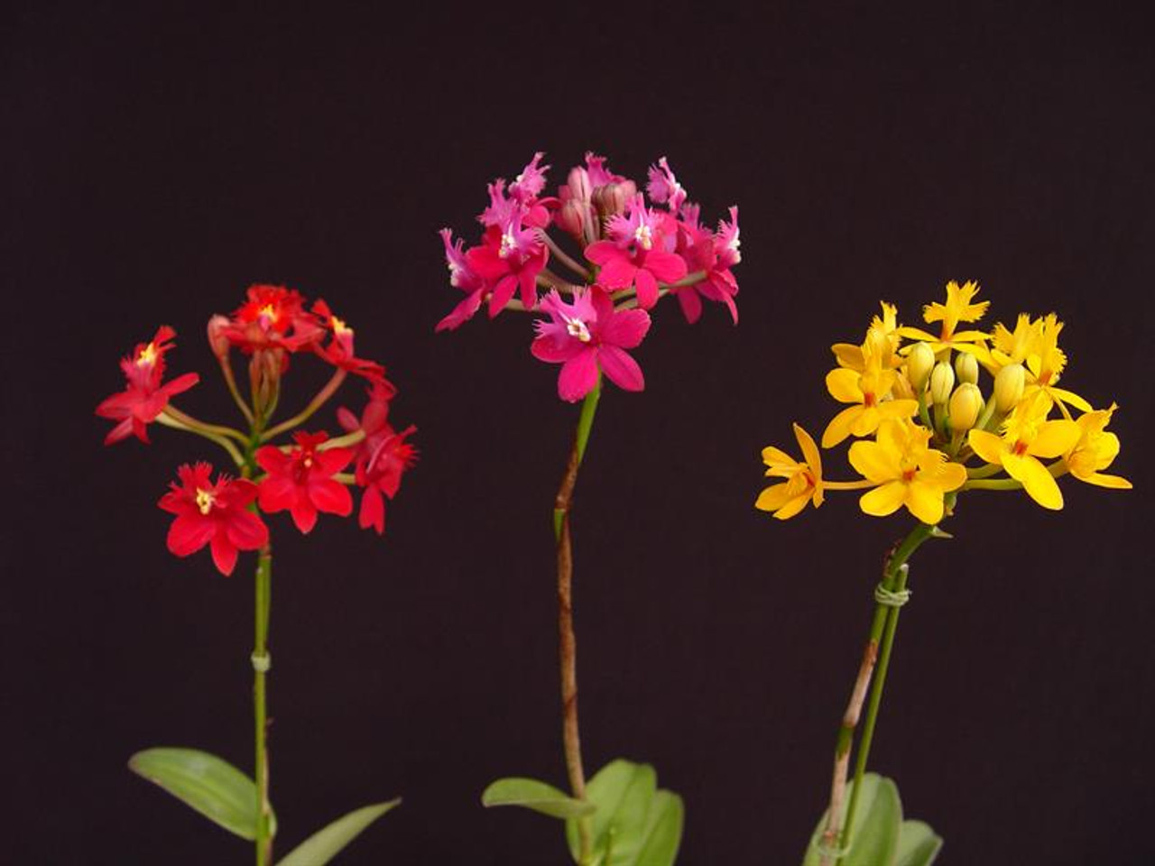 Epidendrum Hybrids - various colors