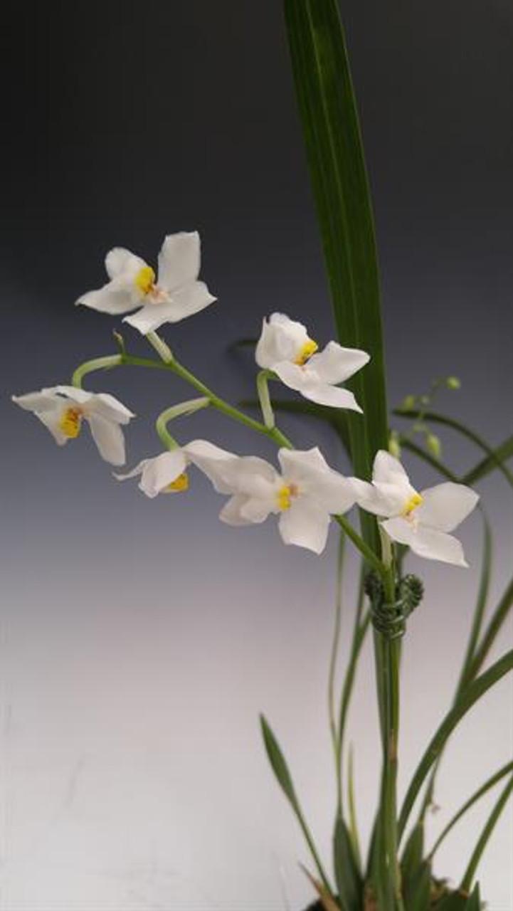 Odontoglossum pulchellum