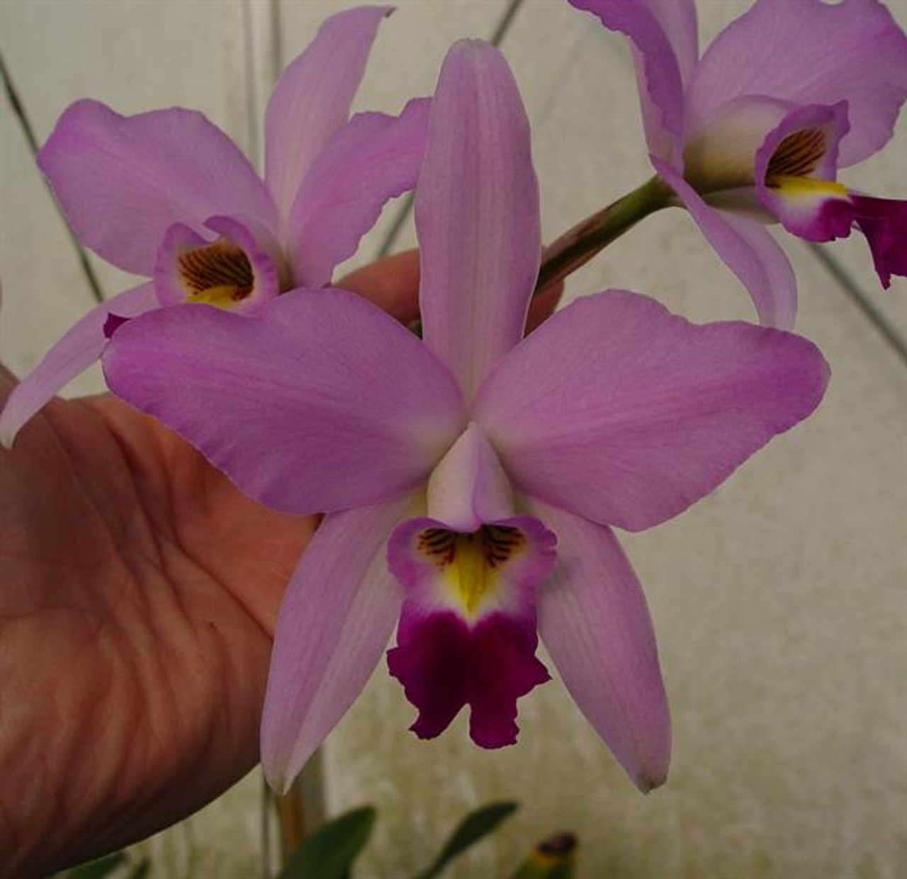 Laelia anceps 'California Dreaming'