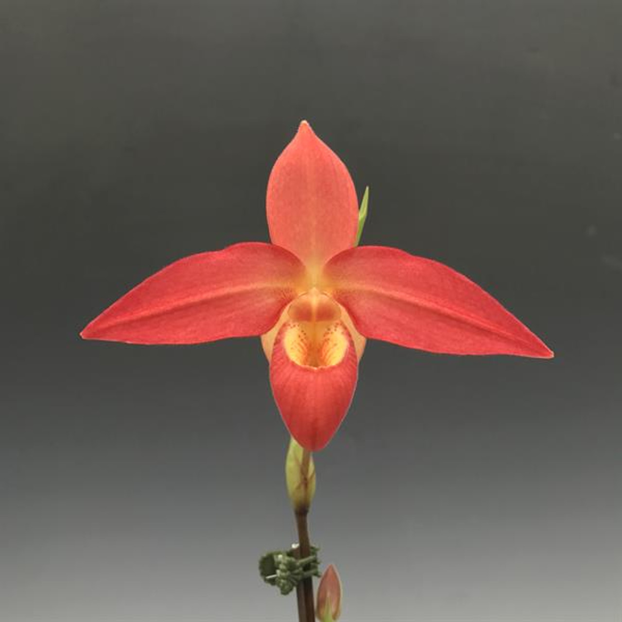 Phrag. Ouaisne (d'alessandroi x Eric Young 'Glowing Embers')