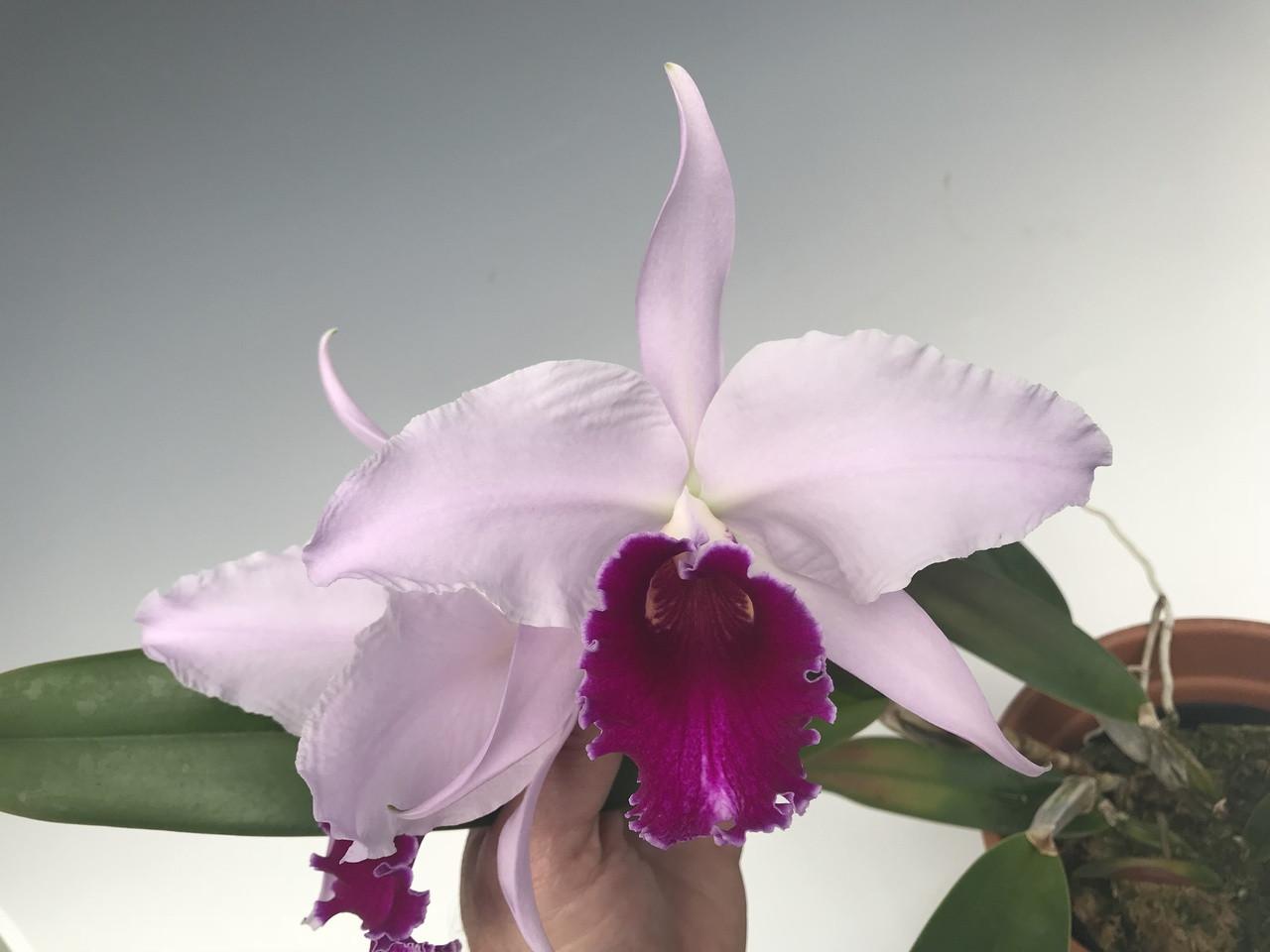 Cattleya Duvaliana (lueddemanniana coerulea x purpurata semi-alba 'Red Carmin')