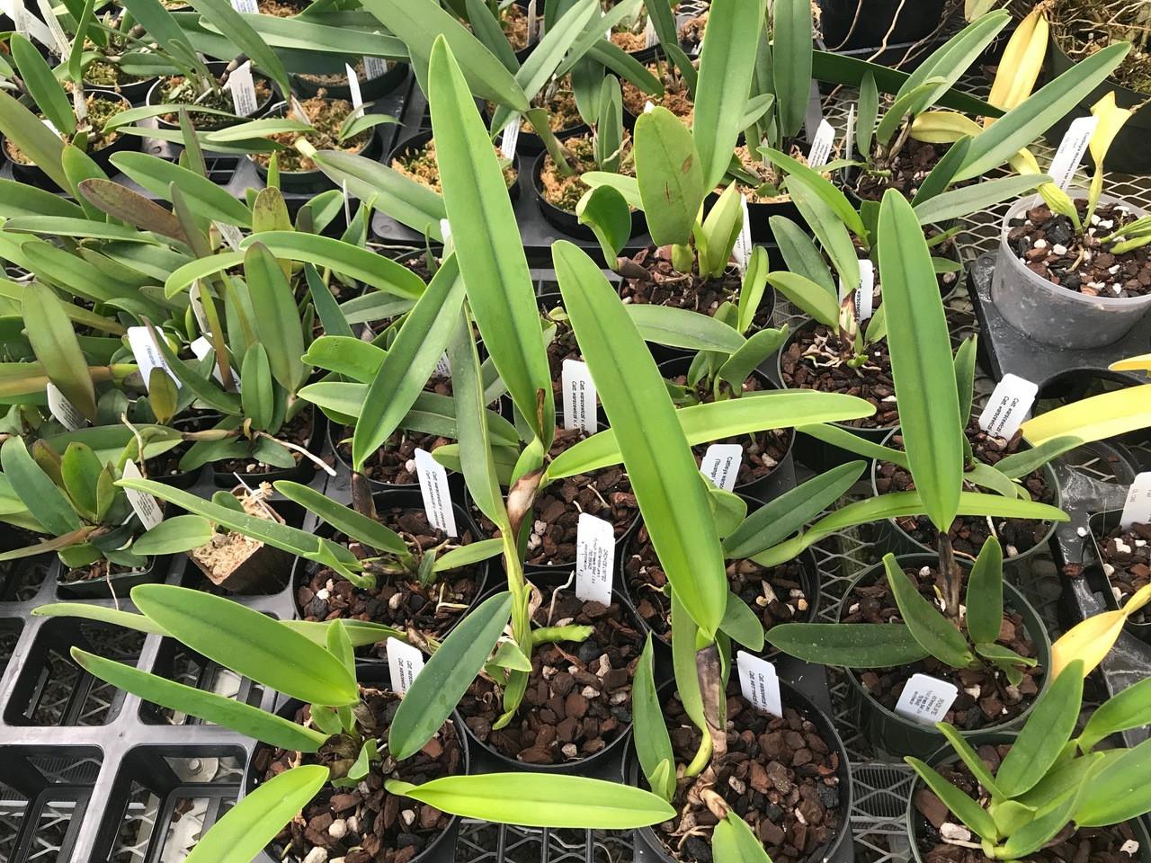 Cattleya warscewiczii var. coerulea ('Ituango' x 'SVO')