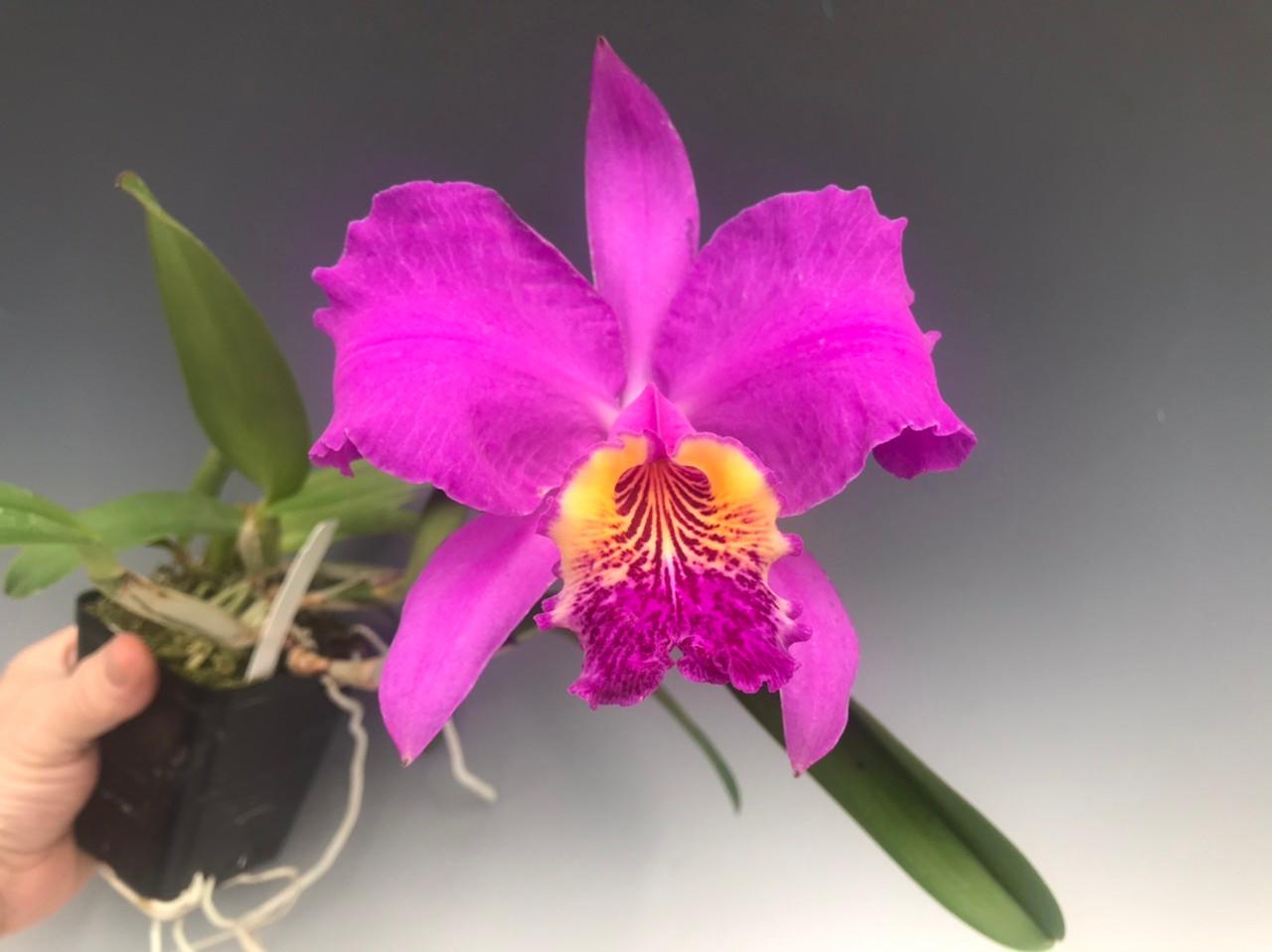 Cattleya lueddemanniana var. rubra - OrchidWeb