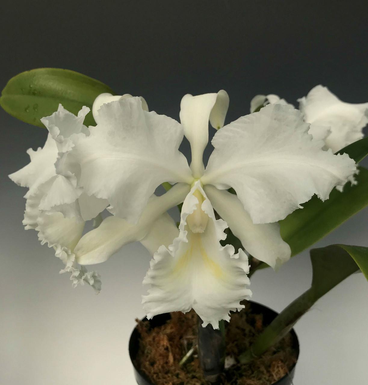 Cattleya Trianae Alba Nieve Blanca Individual Listing Orchidweb
