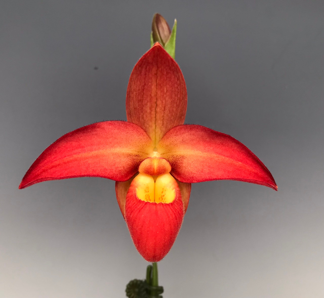 Phrag. Millbrook (Nicholle Tower x besseae) and (besseae 'Raging Red' x Nichole Tower 'Tower of Red')